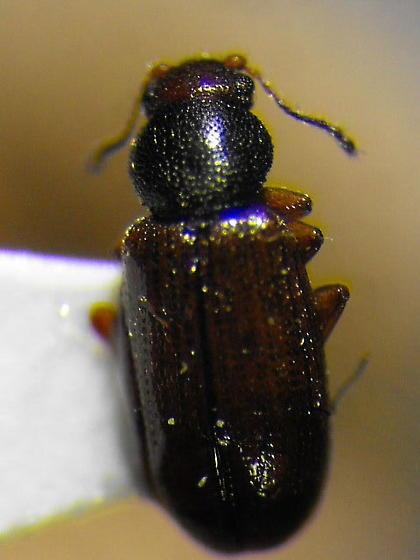 Latriidid(?) - Corticaria varicolor