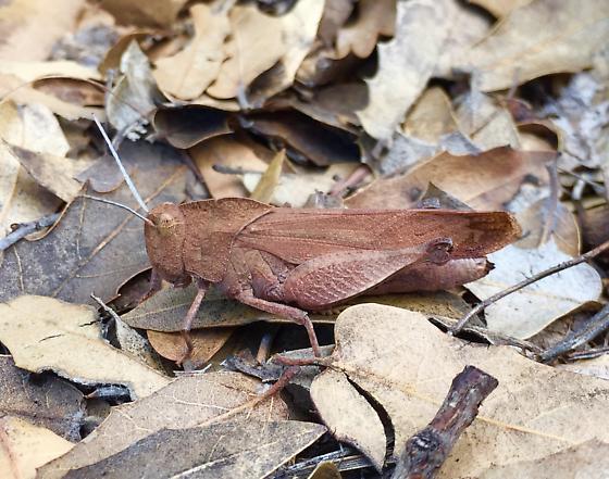 Tomonotus ferruginosus - female