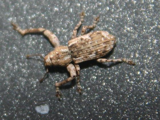 Unsure-- Maybe a beetle? - Scalaventer subtropicus