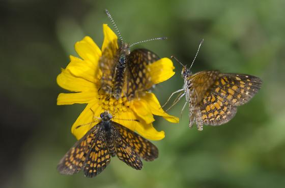 Elada Checkerspots courting - Microtia elada - male - female