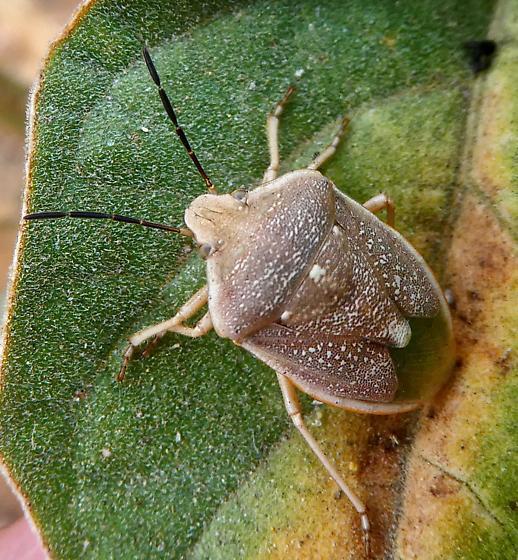 Stink Bug - Chlorochroa uhleri