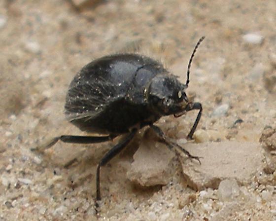 Black bristled desert beetle - Edrotes ventricosus