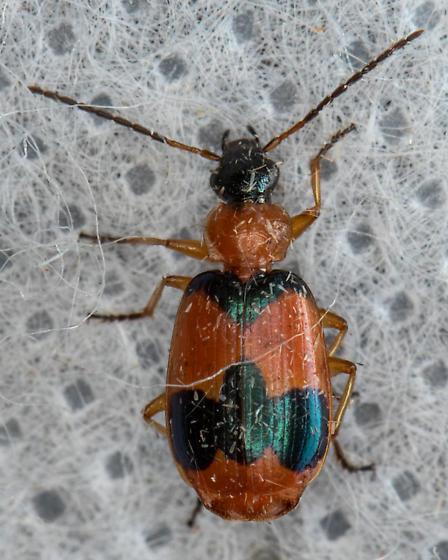 Unknown Beetle - Lebia