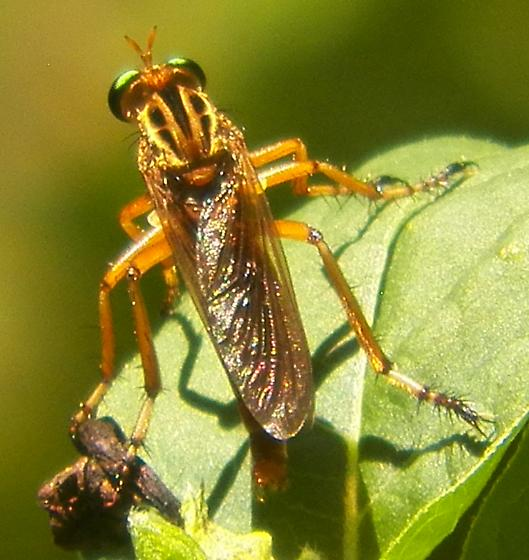Robber fly 062816bar - Diogmites properans