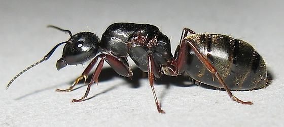 Carpenter Ant Queen - Camponotus modoc - BugGuide.Net