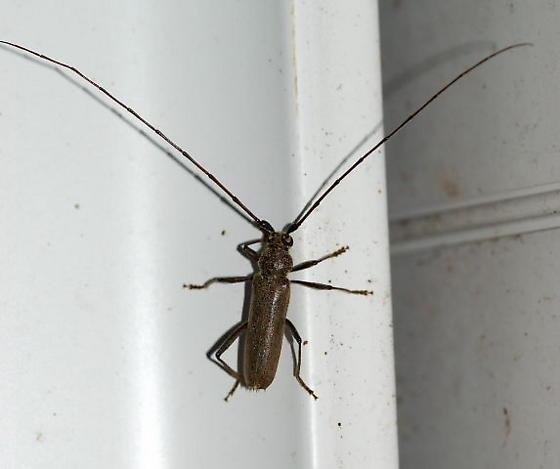 Cerambycinae ? - Knulliana cincta