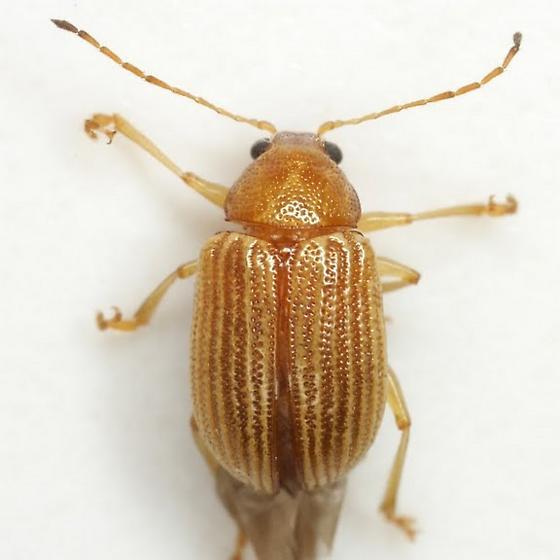 Colaspis brunnea (Fabricius) - Colaspis brunnea