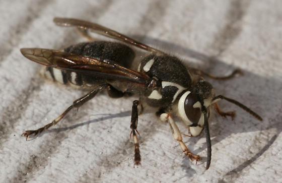 Bald Faced Hornet (dolichovespula maculata)? - Dolichovespula maculata