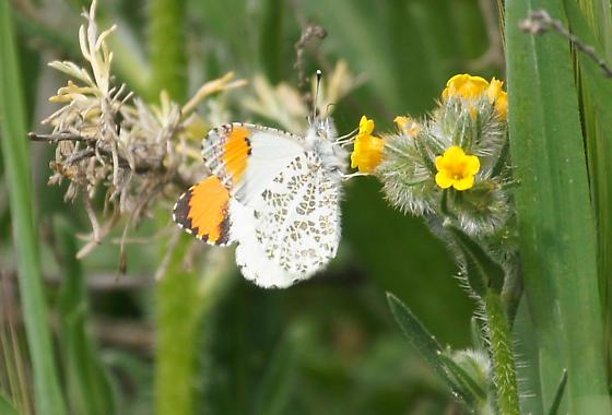 help Identify a butterfly - an Orangetip - Anthocharis sara - male