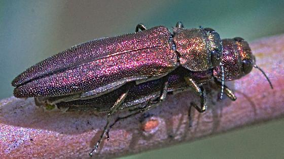 Beetles ~6mm - Agrilus - male - female