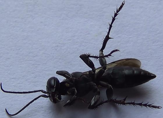 Square-headed Wasp Body Scan (ventral) - Liris - female