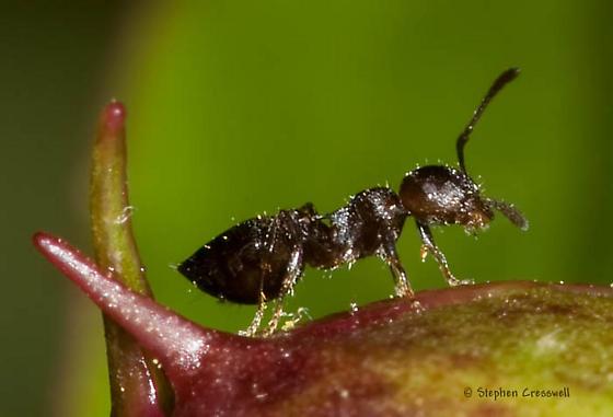 Ant on peony bud taking sugar - Crematogaster lineolata
