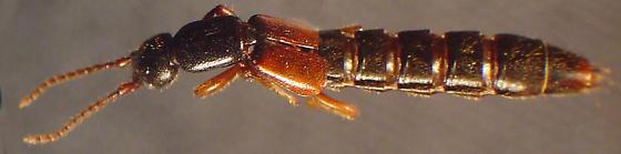 Lathrobium fulvipenne (Gravenhorst) - Lathrobium fulvipenne - male