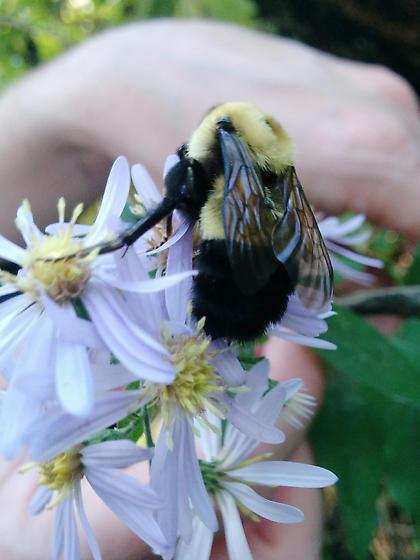 Bombus on aster - Bombus affinis - female
