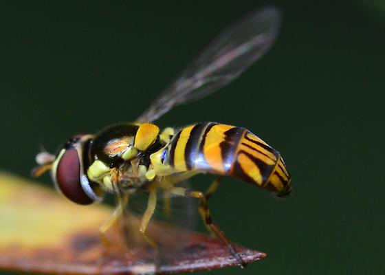 Hover Fly? - Allograpta obliqua