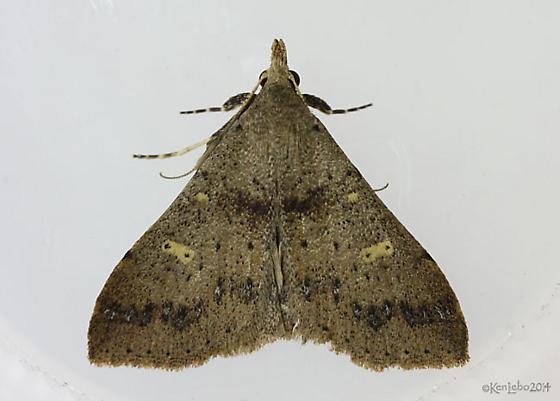 moth - Renia salusalis - male