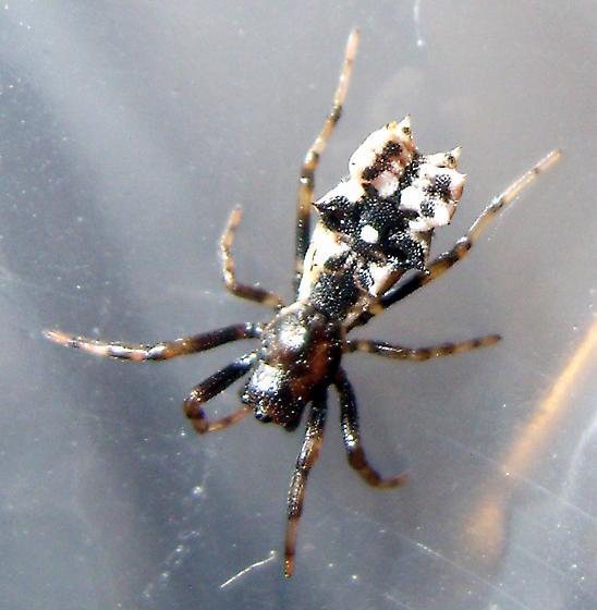 Spined Micrathena - Micrathena gracilis - Micrathena gracilis - female