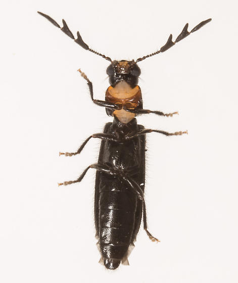 Beetle - Neorthopleura thoracica - male