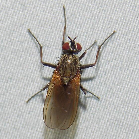 fly - Hydrophoria lancifer - female
