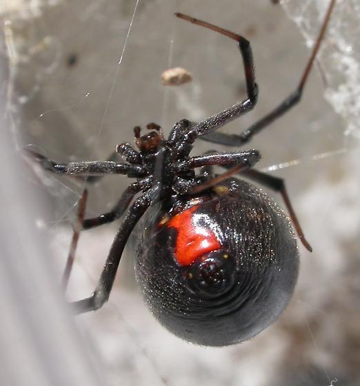 Dark brown - Latrodectus geometricus - female