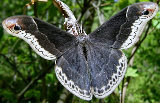 Species Callosamia promethea - Promethea Moth - Hodges#7764 - Callosamia promethea - male