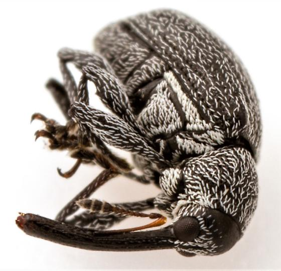 Small weevil - Anthonomus