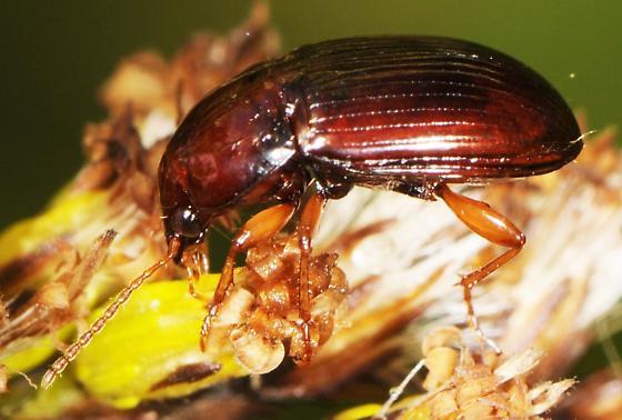 Amara rubrica? Fall Goldenrod Beetle - Amara rubrica