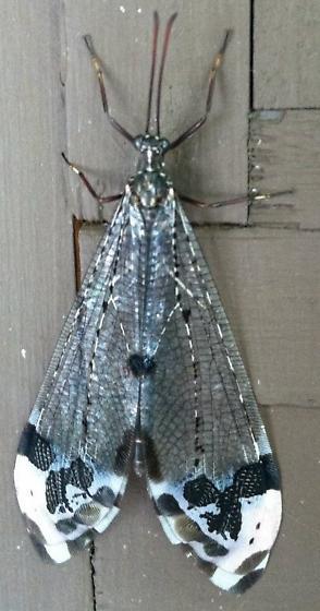 Unknown  - Glenurus gratus