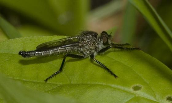 Woodland robber - Machimus virginicus - male