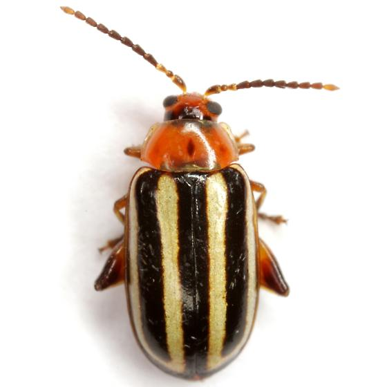 Disonycha glabrata (Fabricius) - Disonycha glabrata