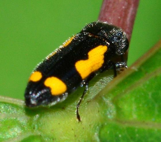 Black Beetle with yellow irregular spots - Ptosima gibbicollis