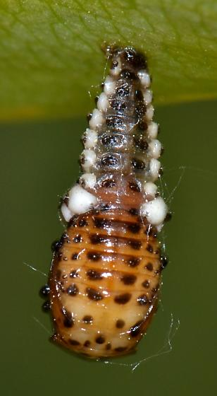 Chrysomela pupa - Chrysomela