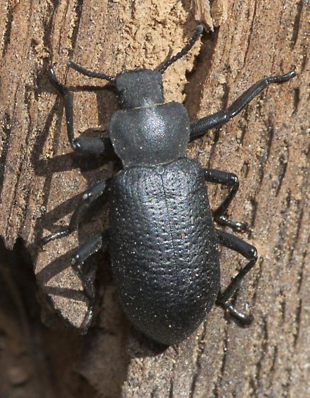 Sweet Beetle - Iphthiminus serratus