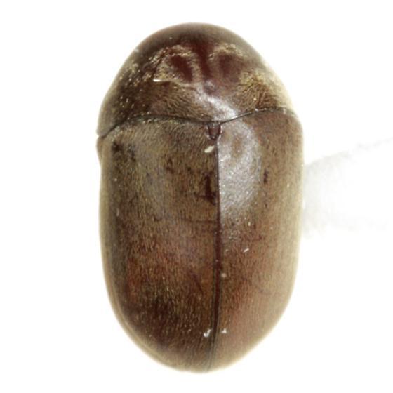 Tricorynus fastigiatus (Fall) - Tricorynus fastigiatus