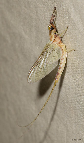 Charles City Mayfly - Hexagenia
