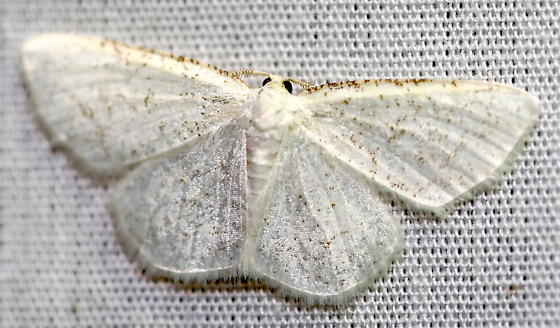 Virgin Moth? - Protitame virginalis - male