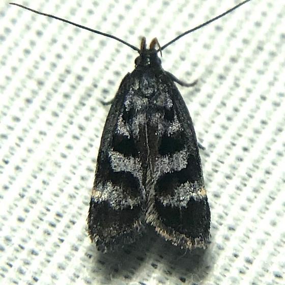 Unknown moth - Dichomeris euprepes