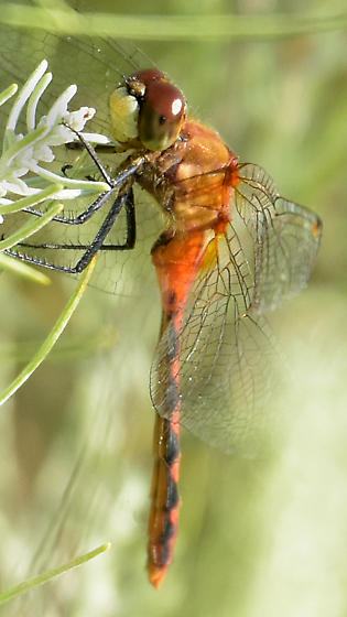 White-faced Meadowhawk - Sympetrum obtrusum - male