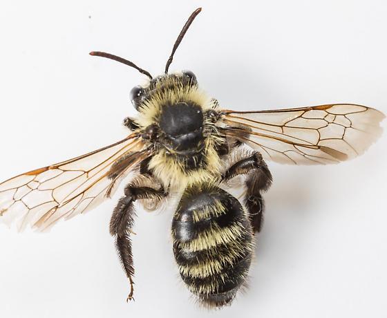 Bee - Andrena hirticincta