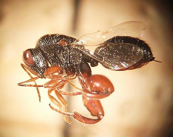 Psilochalcis sp. - Psilochalcis - female