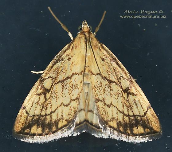 Moth - Evergestis pallidata
