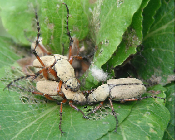 Scarabs Mating - Macrodactylus uniformis - male - female