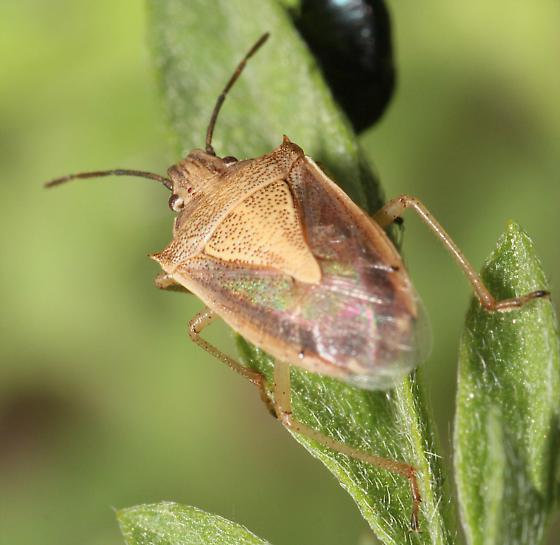 Stink Bug -  - Oebalus mexicanus