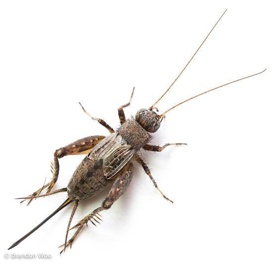 Allonemobius griseus - female