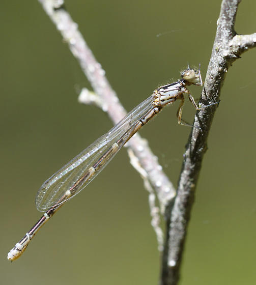 Subarctic bluet - Coenagrion interrogatum - female