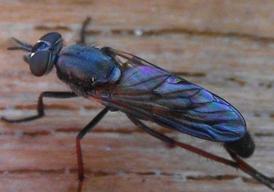 Stiletto Fly with Dark Wings - Ozodiceromyia nigrimana - female