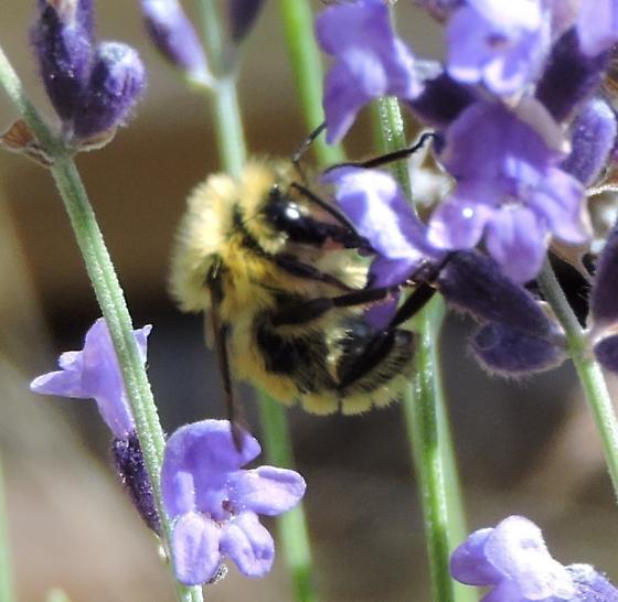 Yellow bumblebee - Bombus
