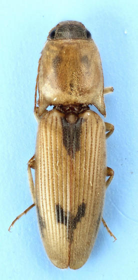 Conoderus - Conoderus vespertinus