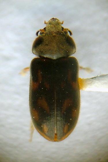 Heterocerid - Heterocerus mollinus