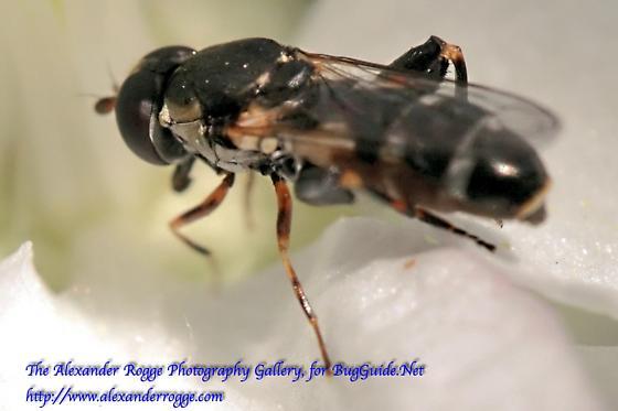 Syrphidae 041117 - Syritta pipiens